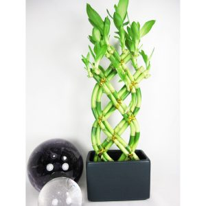 braided-bamboo-plant-luck-care